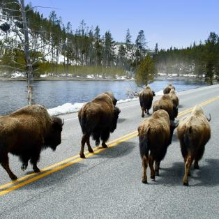 Bøfler ved vejen i Yellowstone - Risskov Rejser