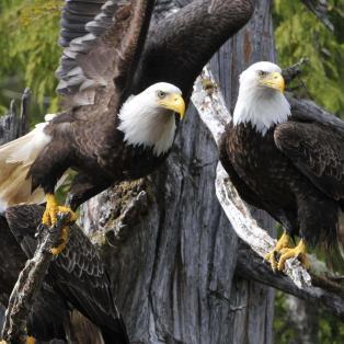 Bald Eagle taking off from a tree - Risskov Rejser