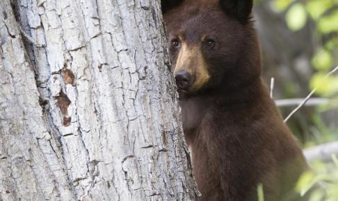 Bjørn i naturen - Risskov Rejser
