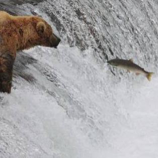 Alaska Bear Salmon Catch - Risskov Rejser
