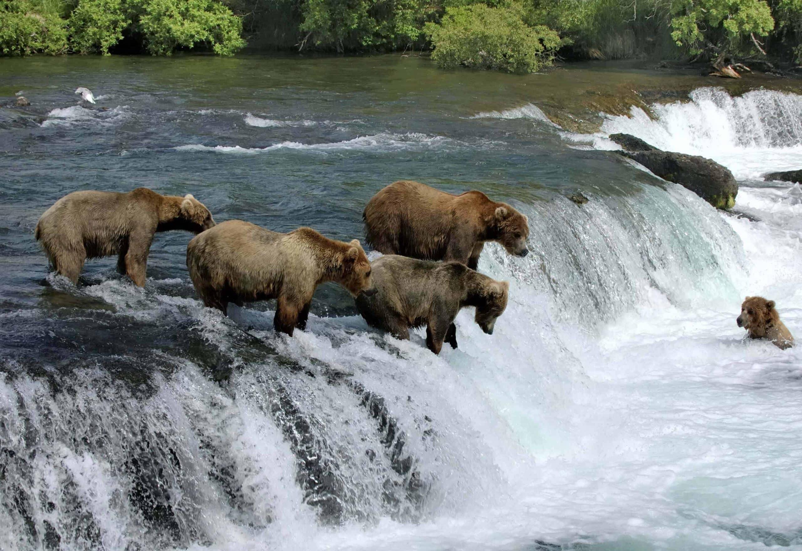 Bjørne i Alaska - Canada - Risskov Rejser