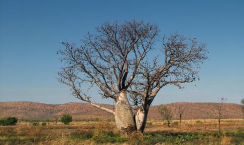 Boab-træer i Kimberly