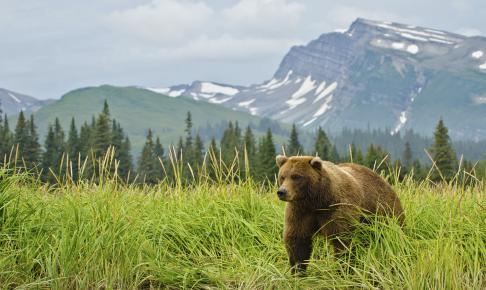 Brun bjørn i naturen - Grand Tour of Alaska - Risskov Rejser