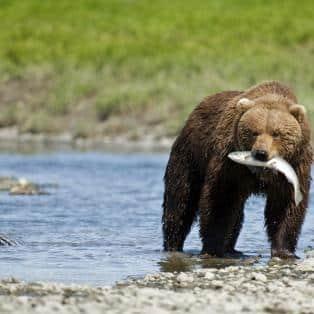 Bjørn i Alaskas vildmark