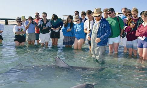 Delfiner ved Monkey Mia