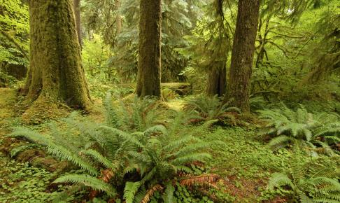 Frodig skov i Olympic National Park - Risskov Rejser