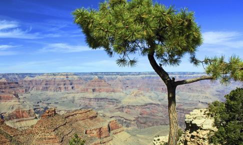Nåletræ med Grand Canyon i baggrunden - Risskov Rejser