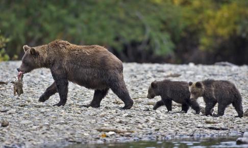 Grizzlybjørnemor med fangst og to unger - Risskov Rejser