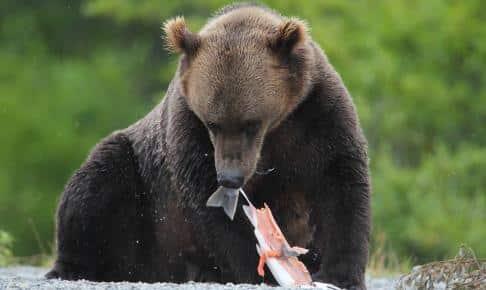 Brun bjørn Alaska