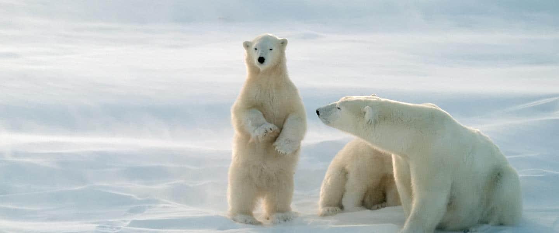 Isbjørne i det nordlige Canada - Risskov Rejser