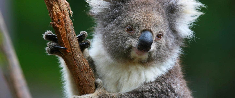 Hils på koalaerne i Tasmanien - Risskov Rejser
