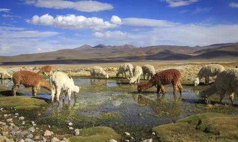 Lamaer i Colca-dalen - Risskov Rejser
