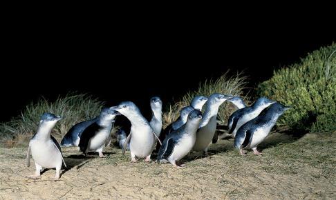 Phillip Island Nature Park - Risskov Rejser