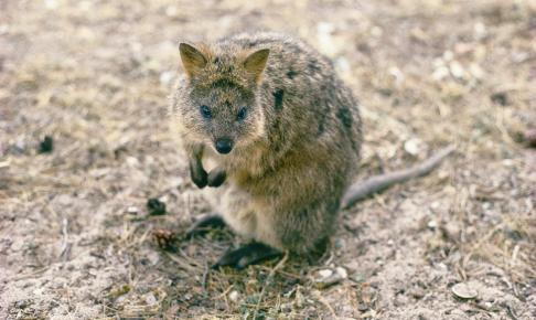 Quokka på Rottnest Island i Western Australia