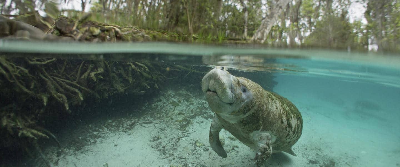 Oplev søkøer ved Crystal River i Florida