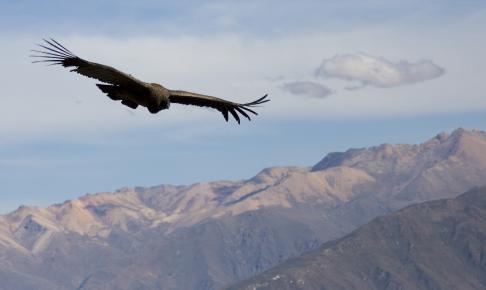 Svævende kondor over Cruz del Condor - Risskov Rejser