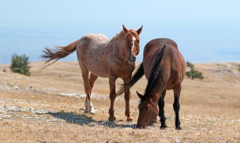 Vilde heste ved Bighorn Canyon - Risskov Rejser