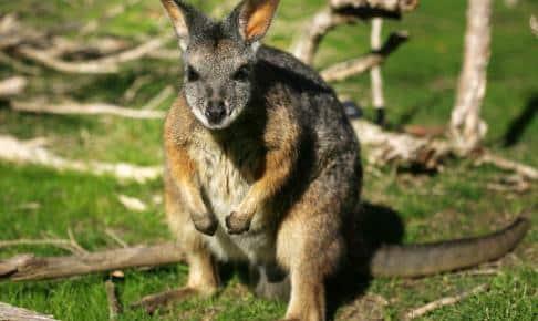 På Granite Island kan du møde wallaby'er - Risskov Rejser