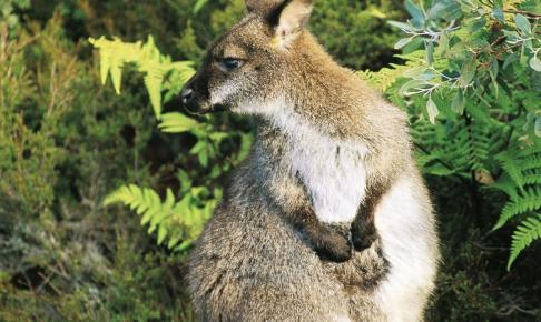 Wallaby - Tasmanian Highlights AU - Risskov Rejser
