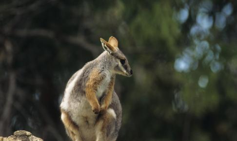 Yellow footed rock wallaby