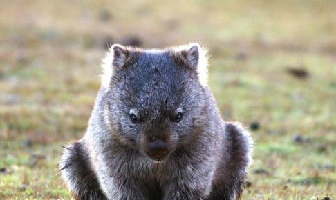 Wombat i skønne Tasmanien - Risskov Rejser