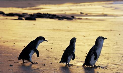 Pingvinparade ved solnedgang på Phillip Island - Risskov Rejser