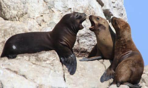 Søløver ved Ballestas øerne - Risskov Rejser
