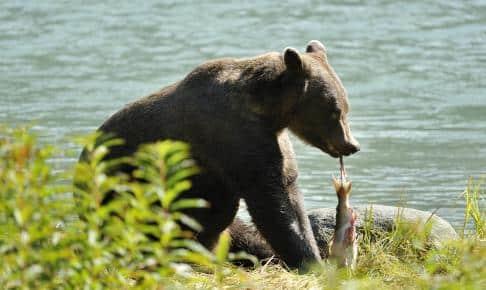 Bjørn der spiser laks i Alaska - Risskov Rejser