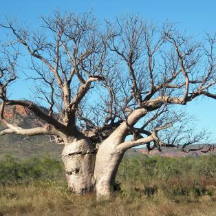 Boab træ - Australien - Risskov Rejser