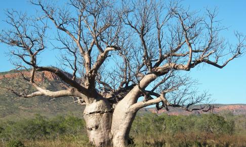 Boab træ - el Questro - Risskov Rejser