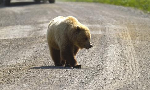 Grizzly bjørn - Risskov Rejser