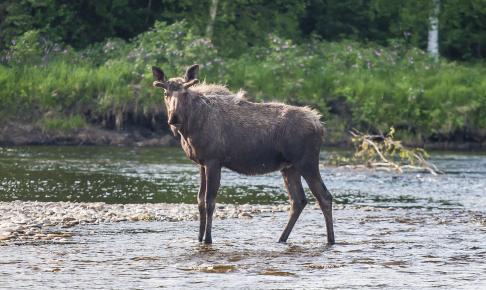 Elg i Chena River - Risskov Rejser