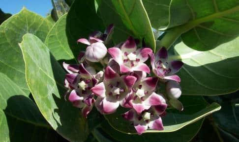Smuk blomst fra Australien - Risskov Rejser