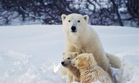Isbjørn med unger - Risskov Rejser