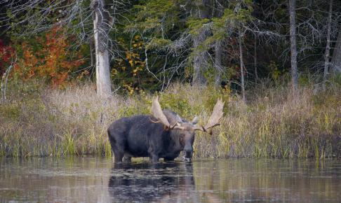 Elg i vand - Risskov Rejser