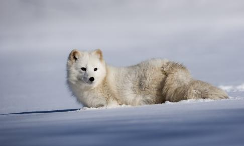 Adorable Artic fox in a deep field of snow - Risskov Rejser