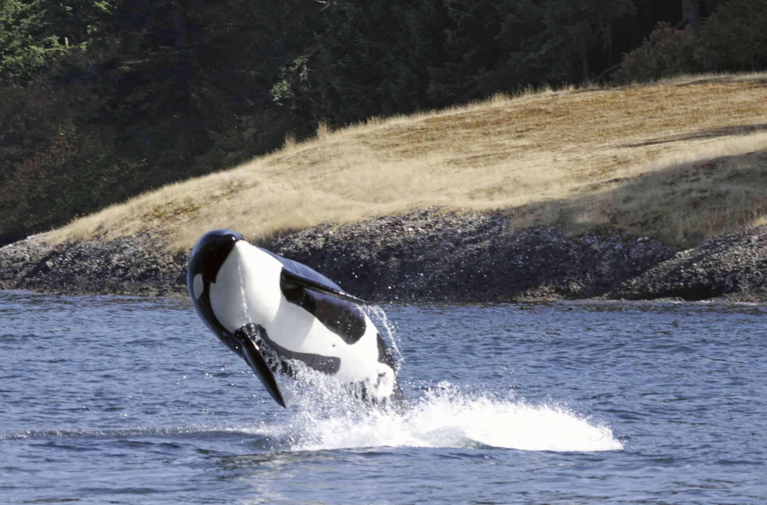 Hval ved Vancouver Island - Risskov Rejser