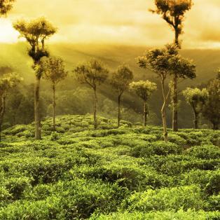 Te plantage landskab - Sri Lanka - Risskov Rejser