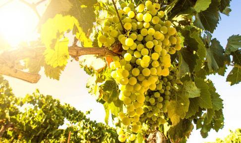 Druer på en vingård - Risskov Rejser
