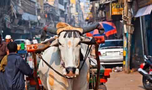 Hellig ko vandrer i Old Delhi - Risskov Rejser