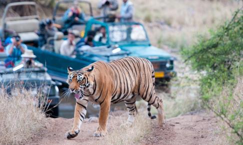 Bengalsk tiger krydser ugeneret en grusvej i Rantambhore National Park - Risskov Rejser