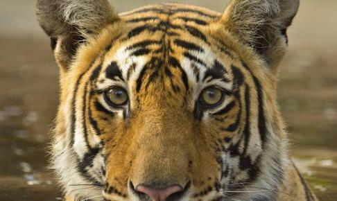 Tiger køler af i vandhul i Rantambhore National Park - Risskov Rejser