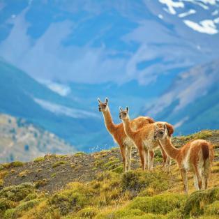 Tre opmærksomme guanacoer - Chile - Risskov Rejser