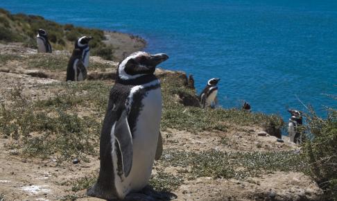 Pingvin - Valdés-halvøen - Risskov Rejser