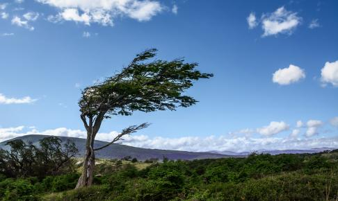 Tree deformed by the wind in Tierra del Fuego - Risskov Rejser