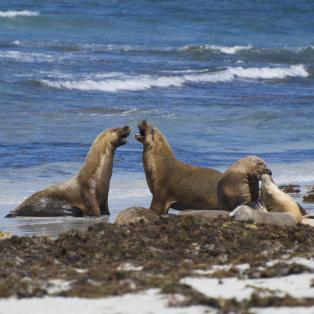 Australske søløver på Kangaroo Island