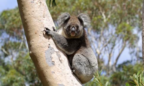 Vild Koala, Kangaroo Island, Australien - Risskov Rejser