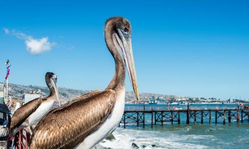 Pelikaner holder til omkring fiskemarkedet i Valparaiso - Risskov Rejser