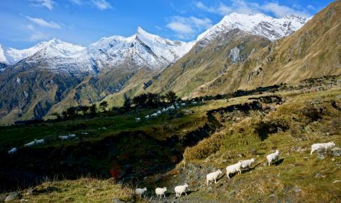 Får på række i Mount Aspiring National Park - Risskov Rejser
