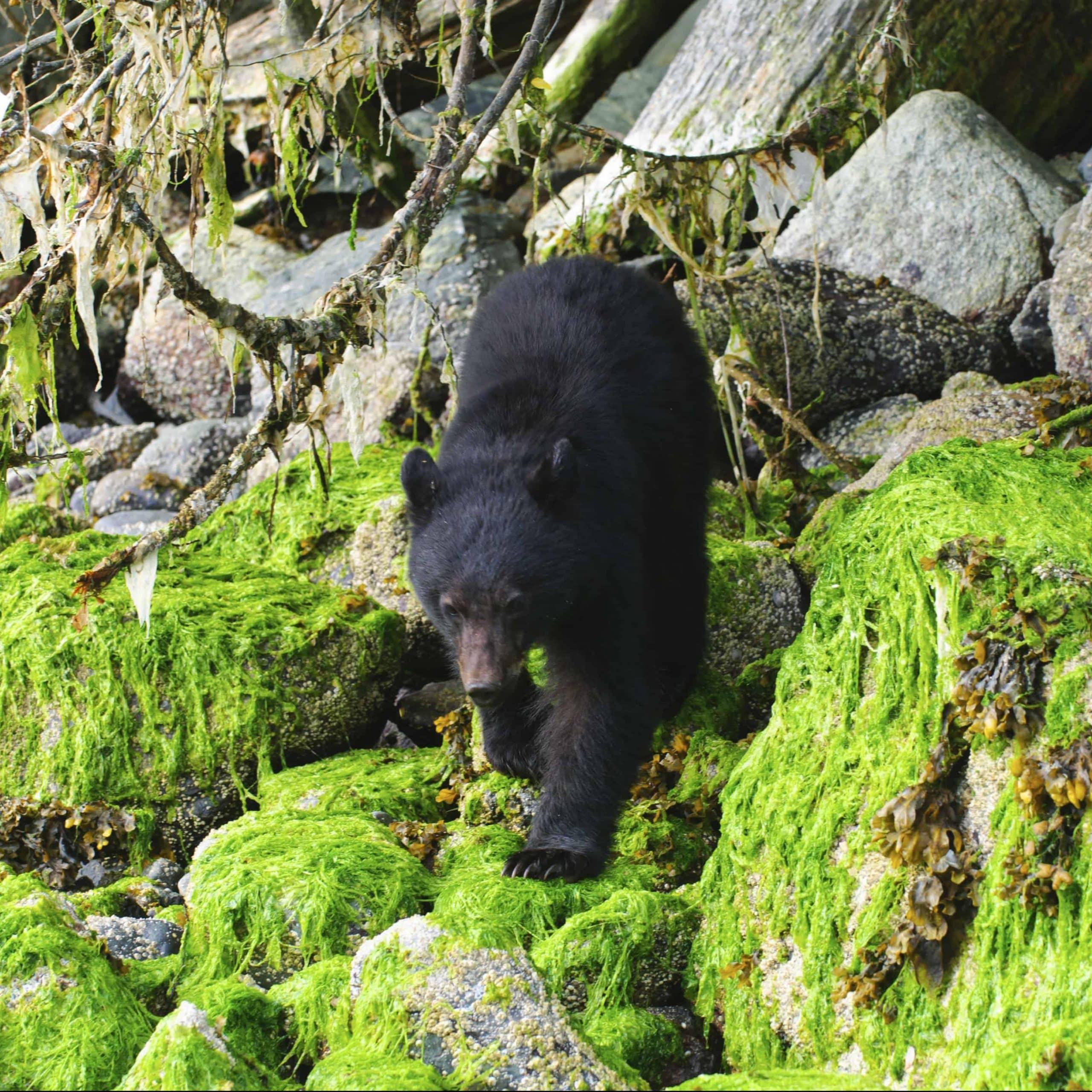 Sortbjørn på Vancouver Island - Risskov Rejser